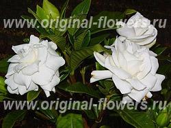 Гардения - Gardenia