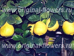Лимон - Citrus Limonium