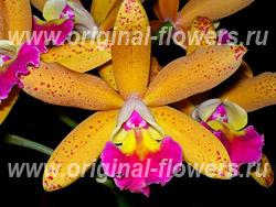 Лелиокаттлея - Laeliocattleya