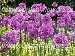 Лук - Allium