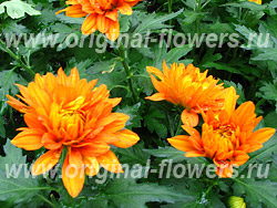 ����������  - Chrysanthemum