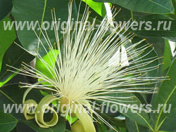 Бомбакопсис голый (Bombacopsis glabra)