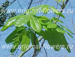 Бомбакопсис кубинский (Bombacopsis cubensis)
