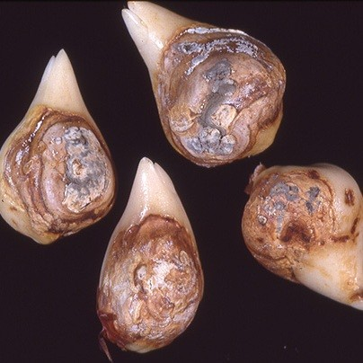 Пенициллез (голубая гниль)