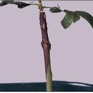 Рак стеблей