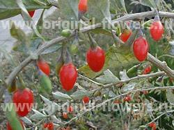 Гетеромелес древолистный (Heteromeles arbutifolia)