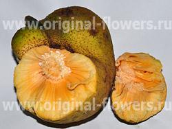 Обезьянье хлебное дерево (Artocarpus lakoocha)