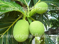 Фото хлебное дерево artocarpus altilis