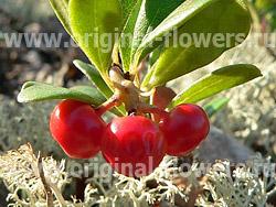Толокнянка (Arctostaphylos)