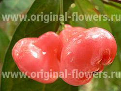 Яванское яблоко (Syzygium samarangense)
