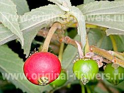 Ямайская вишня (Muntingia calabura)