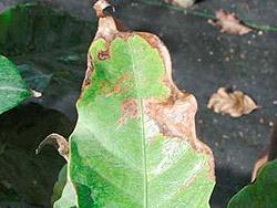 Повреждения растений, вызванные нарушениями температурного режима