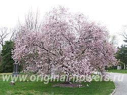 "Вишня зимняя белая (Prunus subhirtella ""Autumnalis"" )"