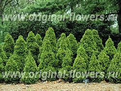 Ель сизая, или канадская (Picea glauca)