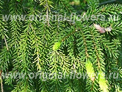 Ель восточная плакучая (Picea orientalis