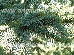 Ель Глена (Picea glehnii Mast)