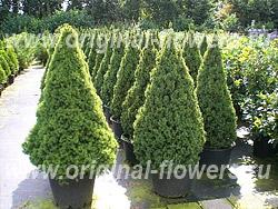 Ель канадская (Picea glauca Moench)
