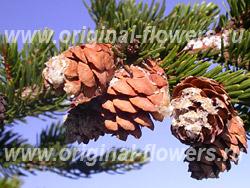 Ель красная (Picea rubens Sarg)