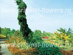 Ель сербская (Picea omorica Pendula)