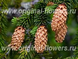 Ель ситхинская (Picea sitchenensis)