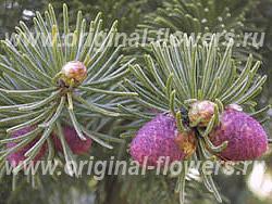 Ель Шренка (Picea schrenkiana fisch. et Mey)