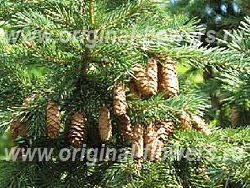 Ель Энгельмана (Picea engelmannii Engelm.)