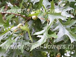 Дуб болотный (Quercus palustris Muenchh.)