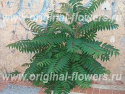 Айлант высочайший (Ailanthus altissima Mill)