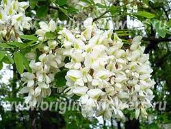 Акация белая, робиния (Robinia pseudoacacia L.)