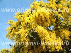 Акация золотистая (Robinia pseudoacacia