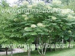 Аралия высокая (Aralia elata (Miq.)