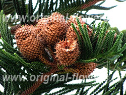 Араукария чилийская (elata (Miq.)