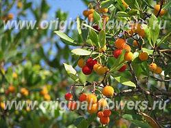 Арбутус или земляничное дерево (Arbutus)