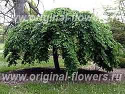 Вяз шершавый или горный, ильм (Ulmus glabra)
