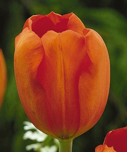 Оранжезон