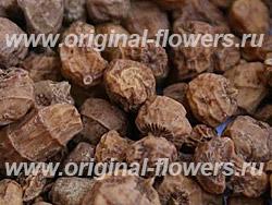 Чуфа (Cyperus esculentus)